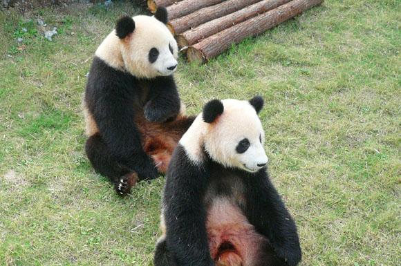 壁纸 大熊猫 动物 狗 狗狗 580_385