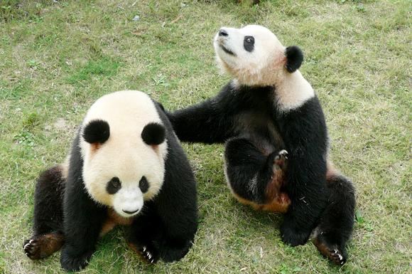 大熊猫 动物 580