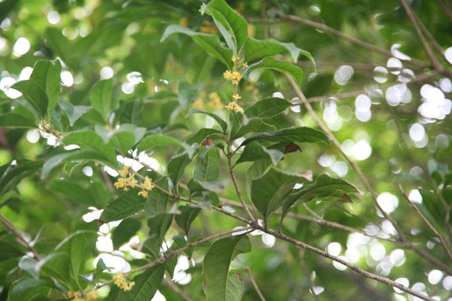 沿途满目葱郁的桂花树,有黄白,淡黄的银桂;黄色的