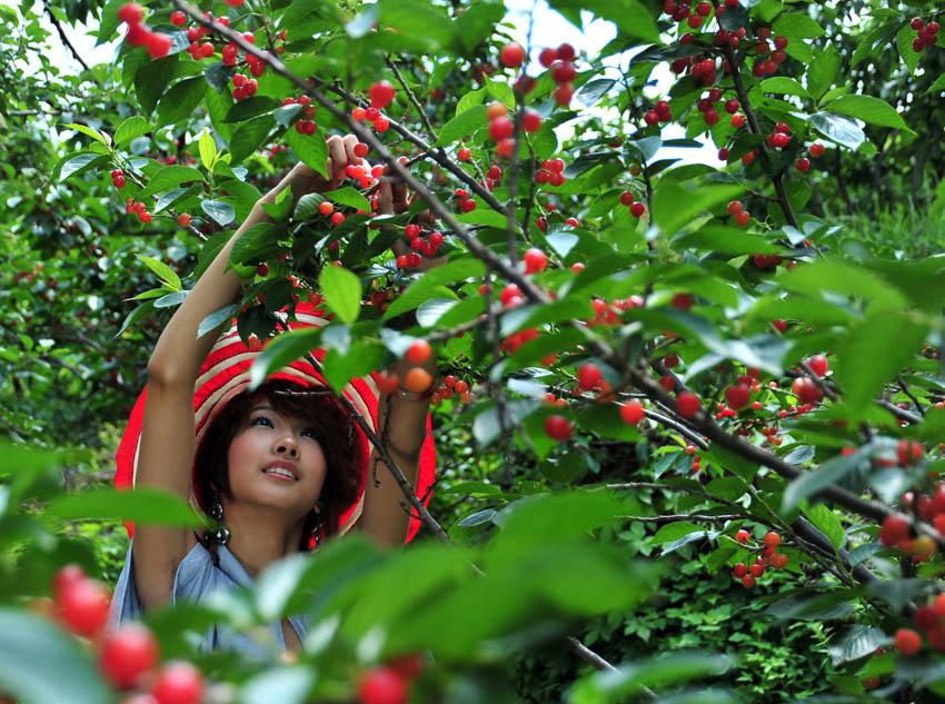 南山竹海樱桃