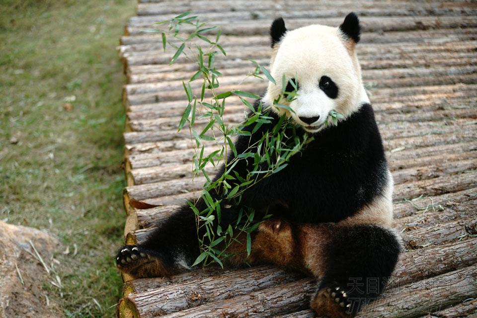 还是竹子最好吃